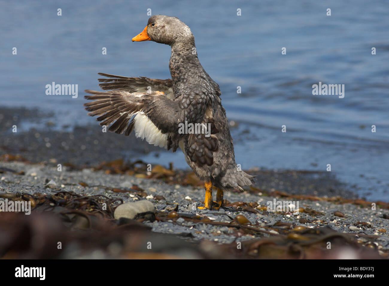 Flightless Falkland Steamer Duck (Tachyeres brachypterus), Falkland Islands, South America - Stock Image