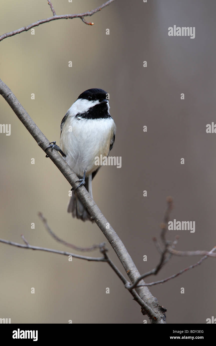 Black-capped Chickadee (Poecile atricapillus atricapillus) perched on branch - Stock Image