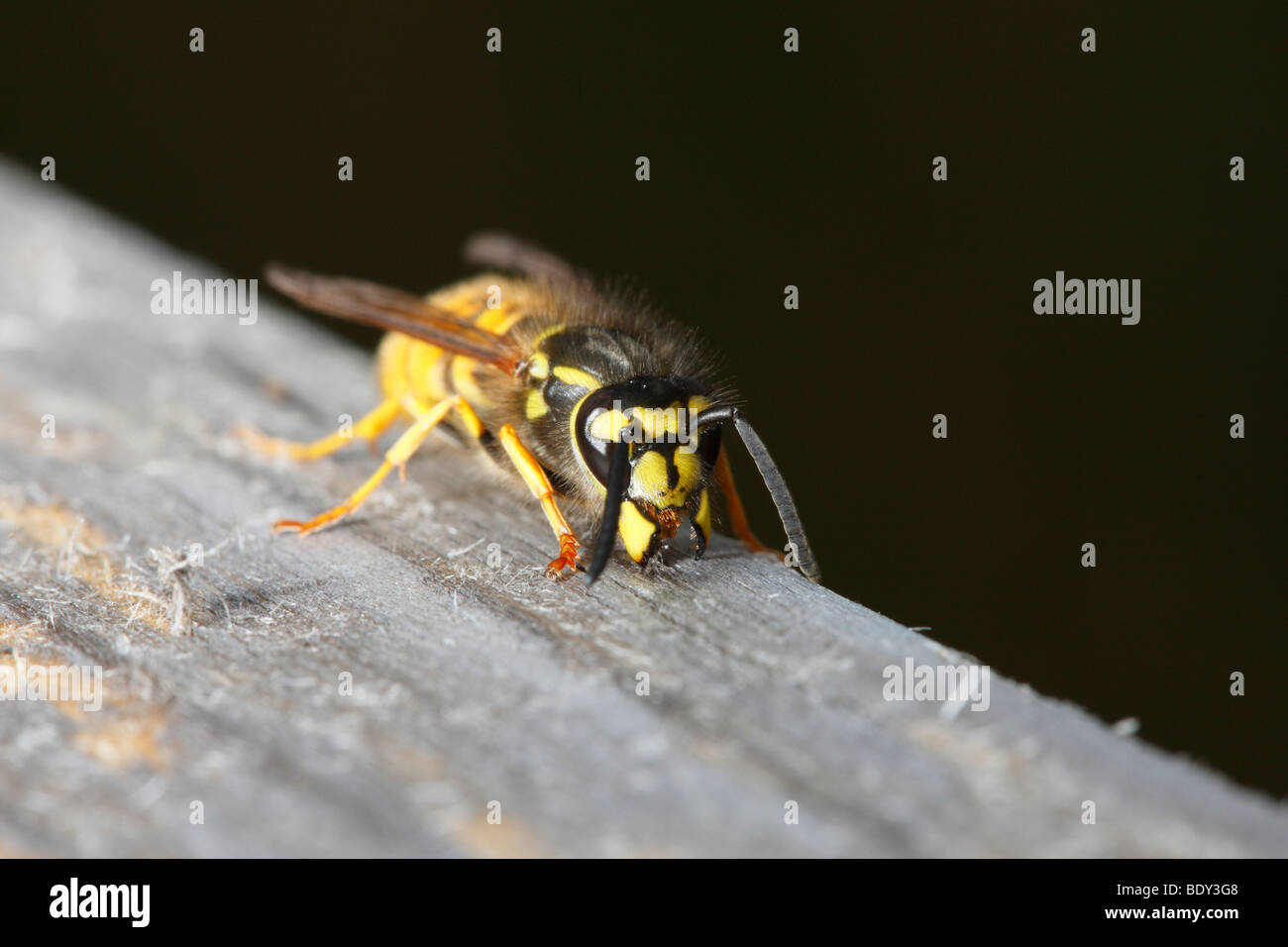 Common Wasp chewing wooden handrail to collect material to construct nest. - Stock Image