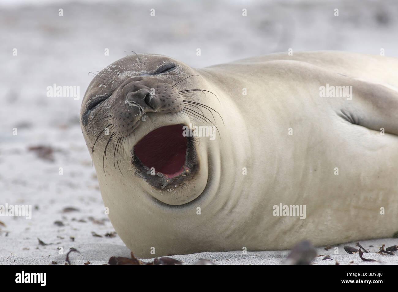Southern Elephant Seal (Mirounga leonina), Falkland Islands - Stock Image
