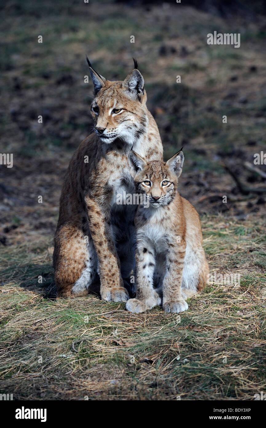 Eurasian Lynx (Lynx lynx), mother with cub Stock Photo