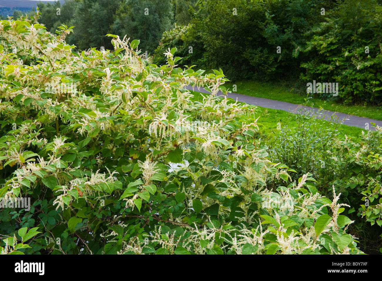 Japanese Knotweed growing vigorously on canal bank at Pontywaun it is endemic in the industrial valleys of South - Stock Image