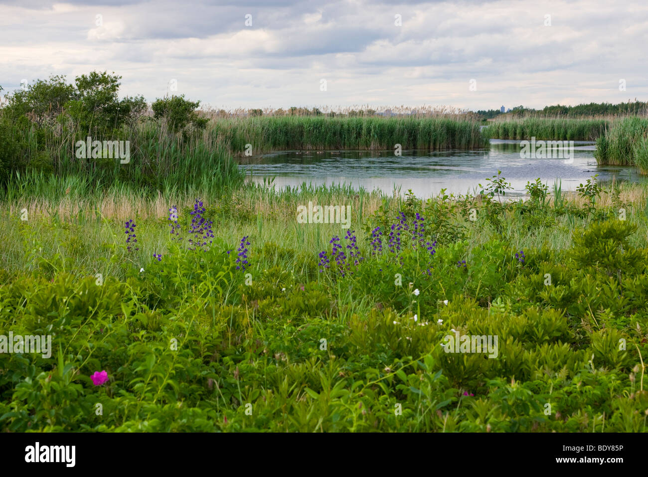 Wildflowers and the West Pond at the Jamaica Bay National Wildlife Refuge, Queens, New York Stock Photo