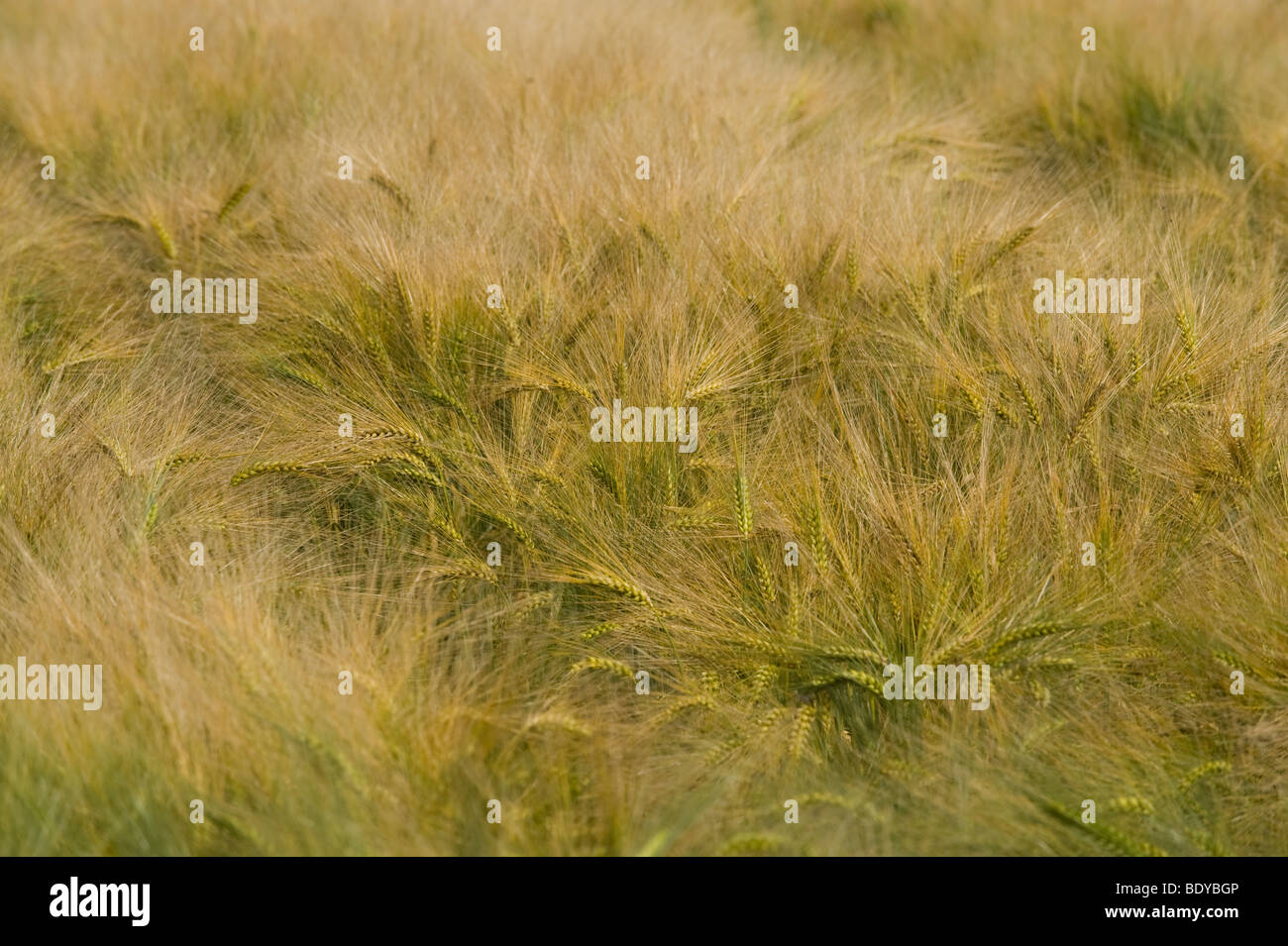 Corn field, Normandy, France, Europe - Stock Image