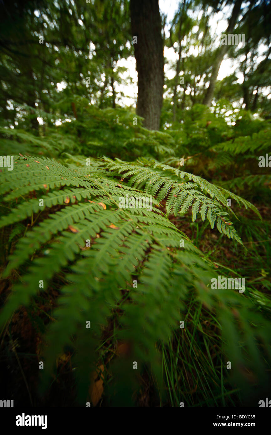 Wide angle view of ferns in the forest. - Stock Image