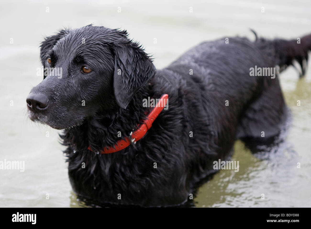 Gun dog, Black Labrador in water - Stock Image