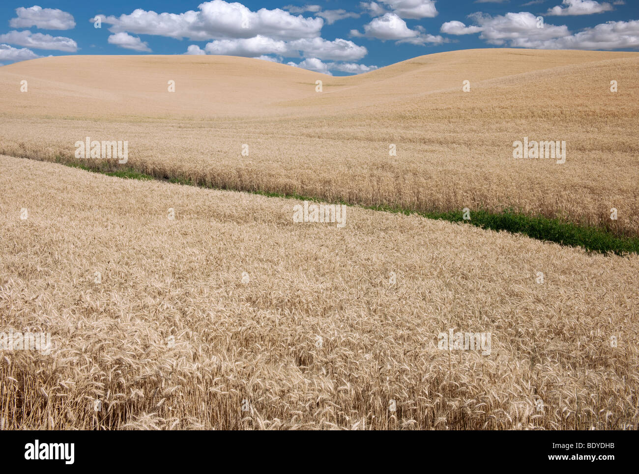 Afternoon cumulus clouds float over this field of August wheat in eastern Washington's Palouse region. Stock Photo