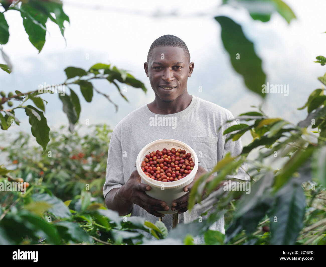 Worker With Coffee Beans In Tub - Stock Image