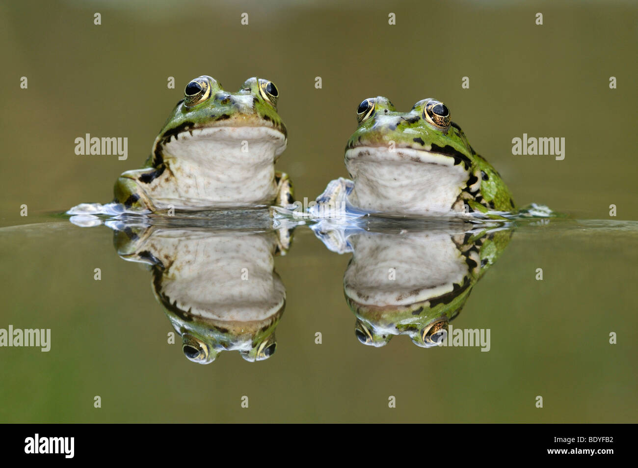 Water frogs (Rana esculenta, Pelophylax kl. esculentus) with reflection - Stock Image