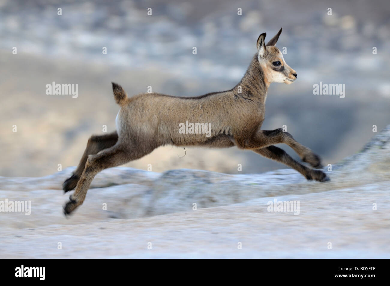 Excited too chamois mature buck pity