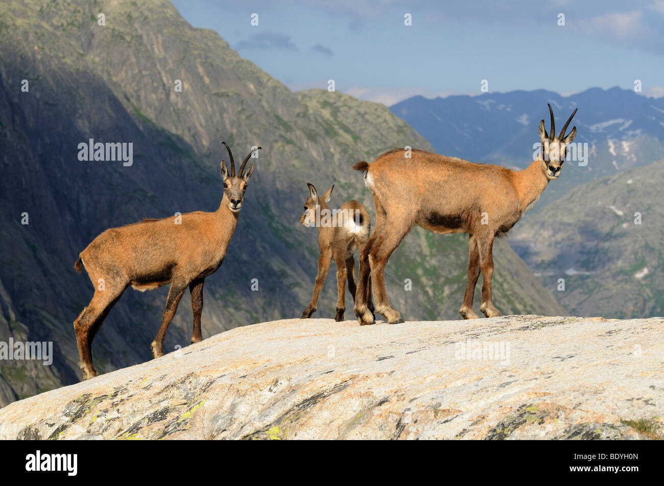 A group of chamois (Rupicapra Rupicapra) against backdrop of the Swiss Alps, Switzerland, Europe - Stock Image