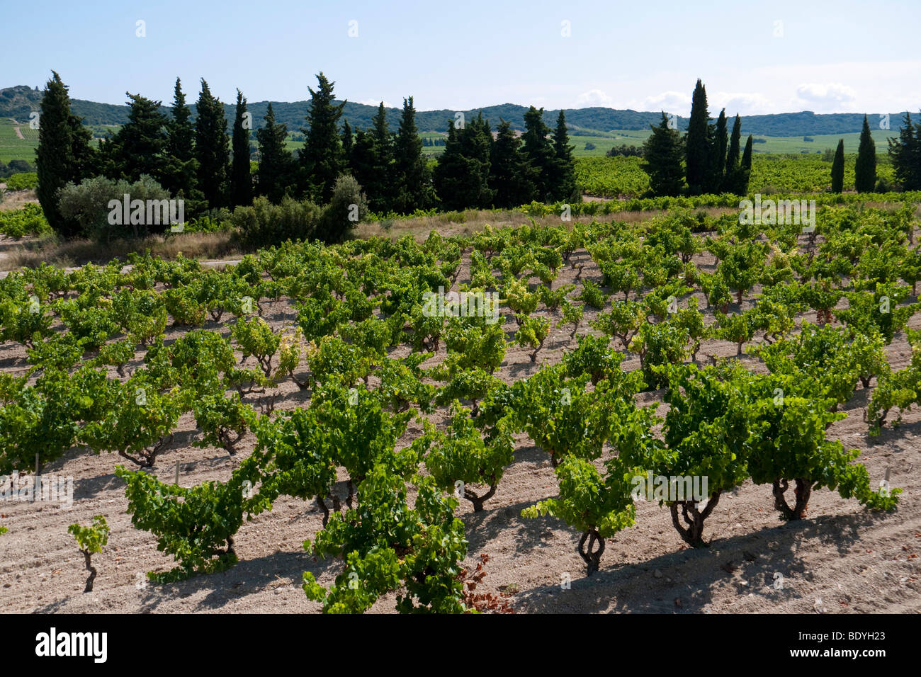 A vineyard in the wine growing area of Tavel. - Stock Image