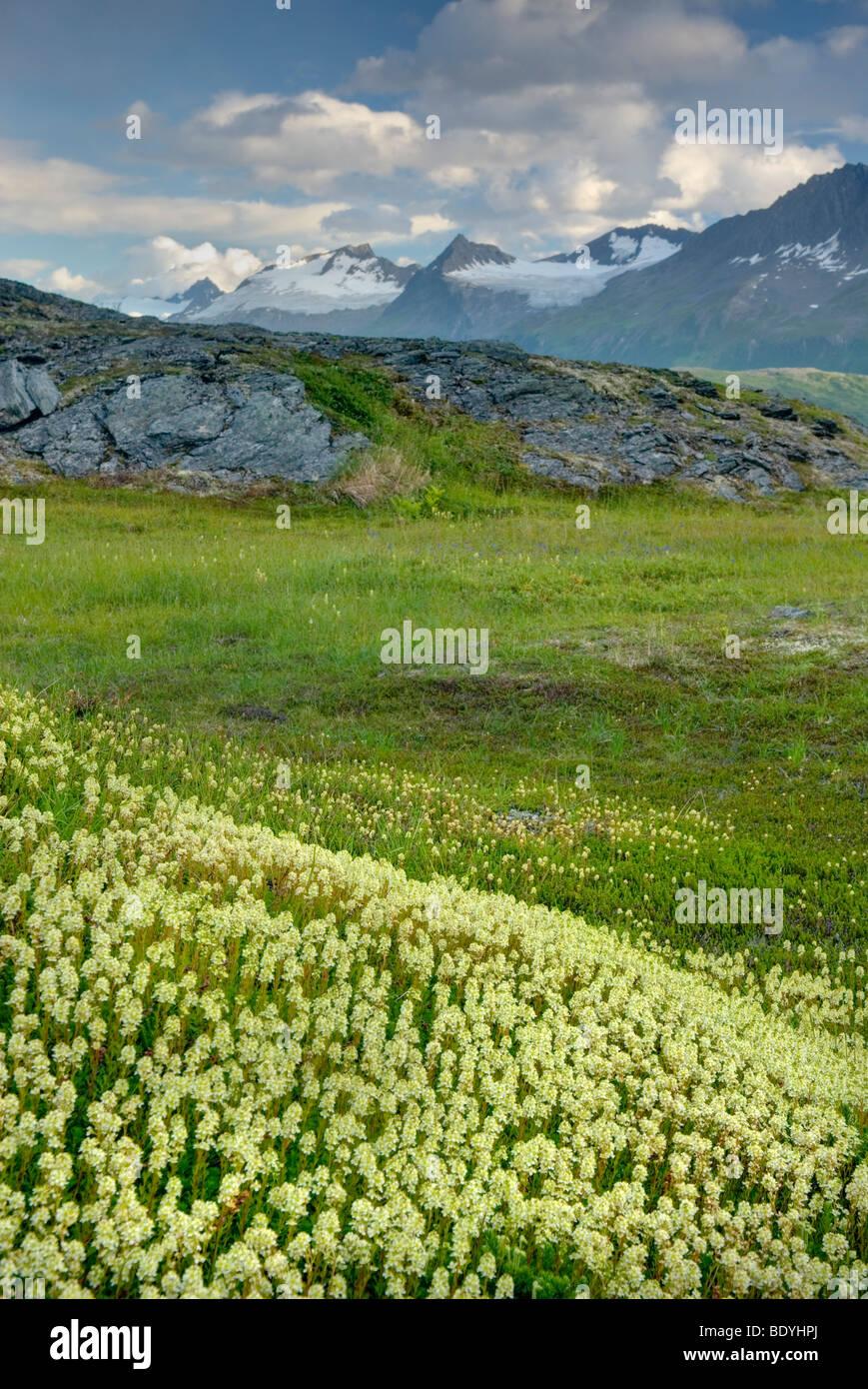 Alpine meadows carpeted with Partridge Foot (Luetkea pectinata) in the Chugach Mountains near Thompson Pass Alaska - Stock Image