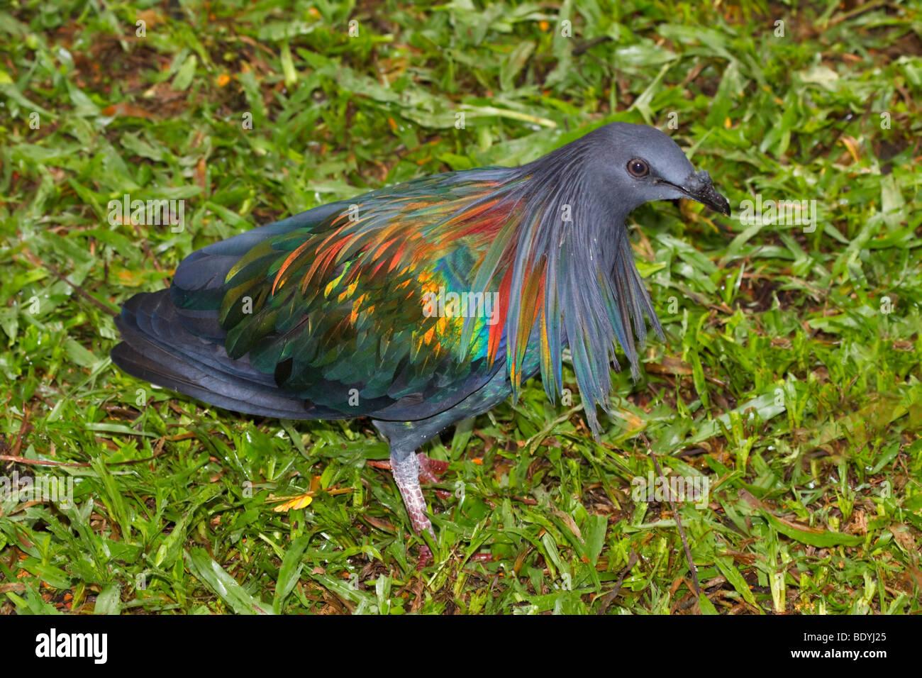 Nicobar Pigeon, Caloenas nicobarica. - Stock Image