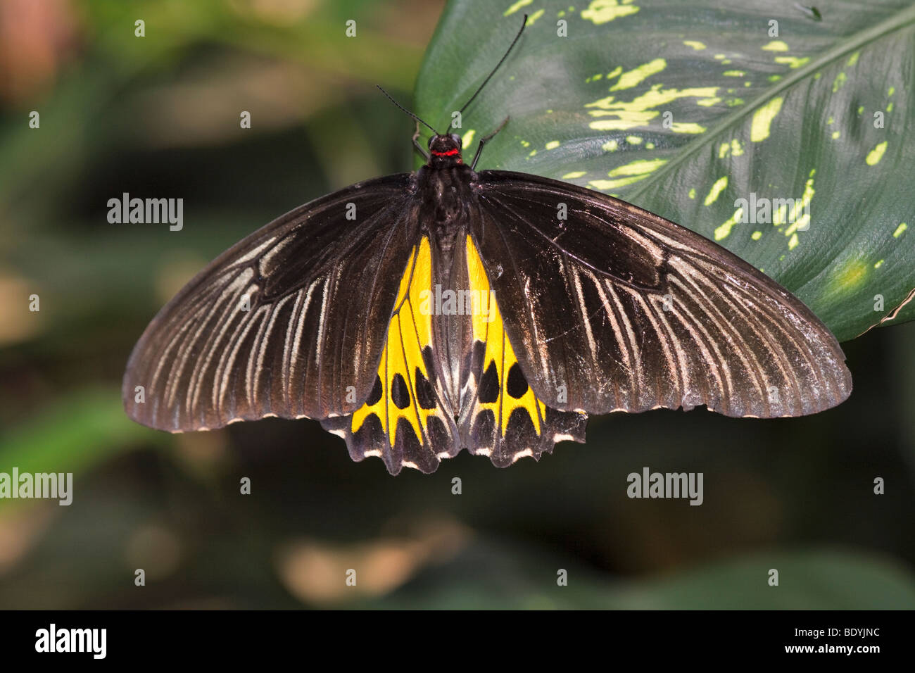 Common birdwing butterfly, Troides helena cerberus - Stock Image