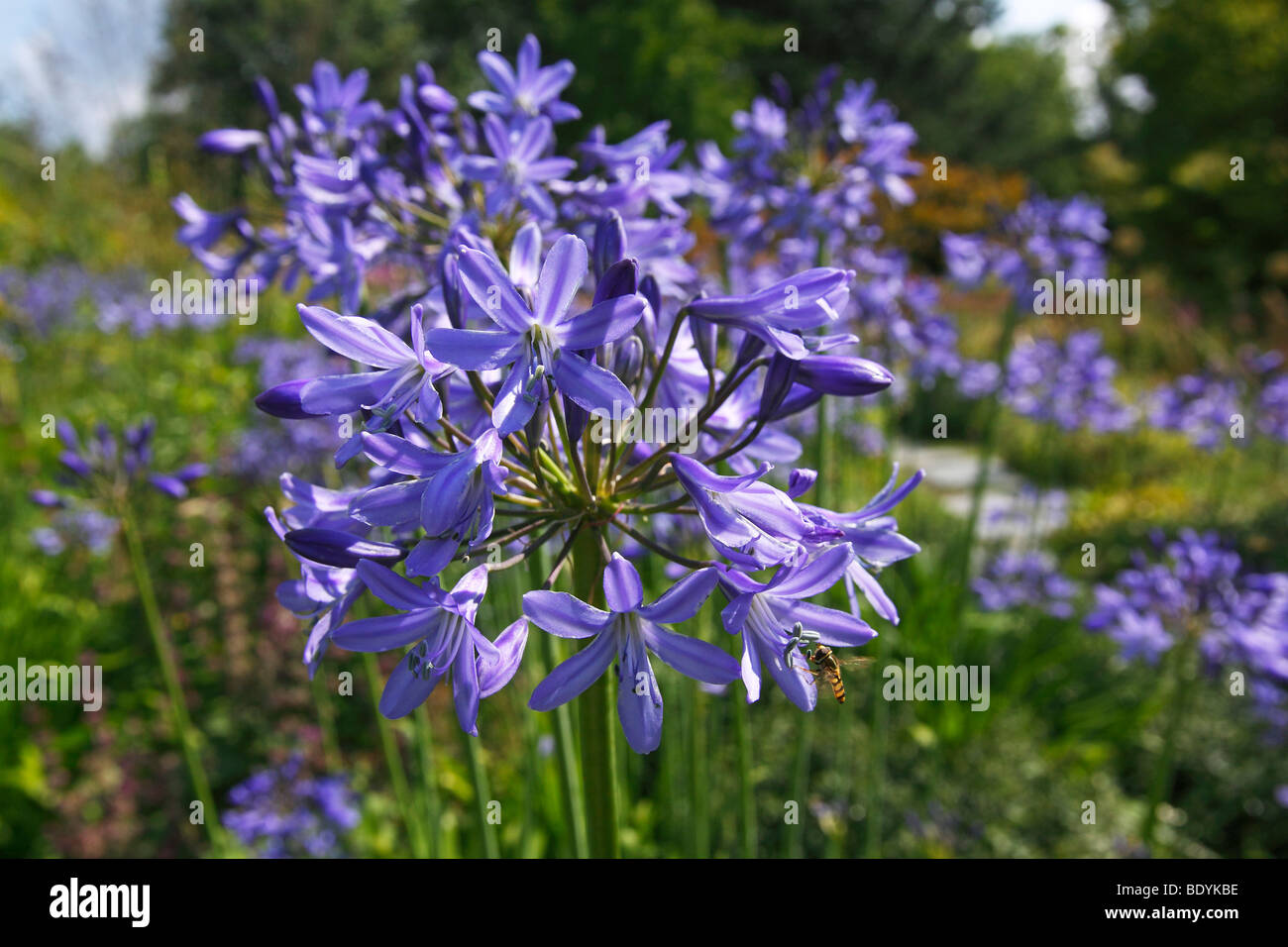 Lily Nile Blue Lily African Stock Photos Lily Nile Blue Lily