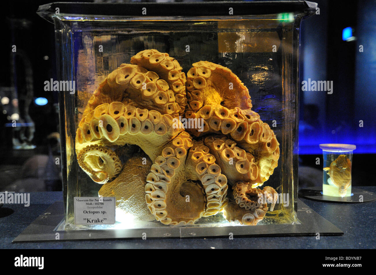 Octopus (Octopus vulgaris), preserved in glass, Natural History Museum Berlin, Coral Reef exhibition, Museum of - Stock Image