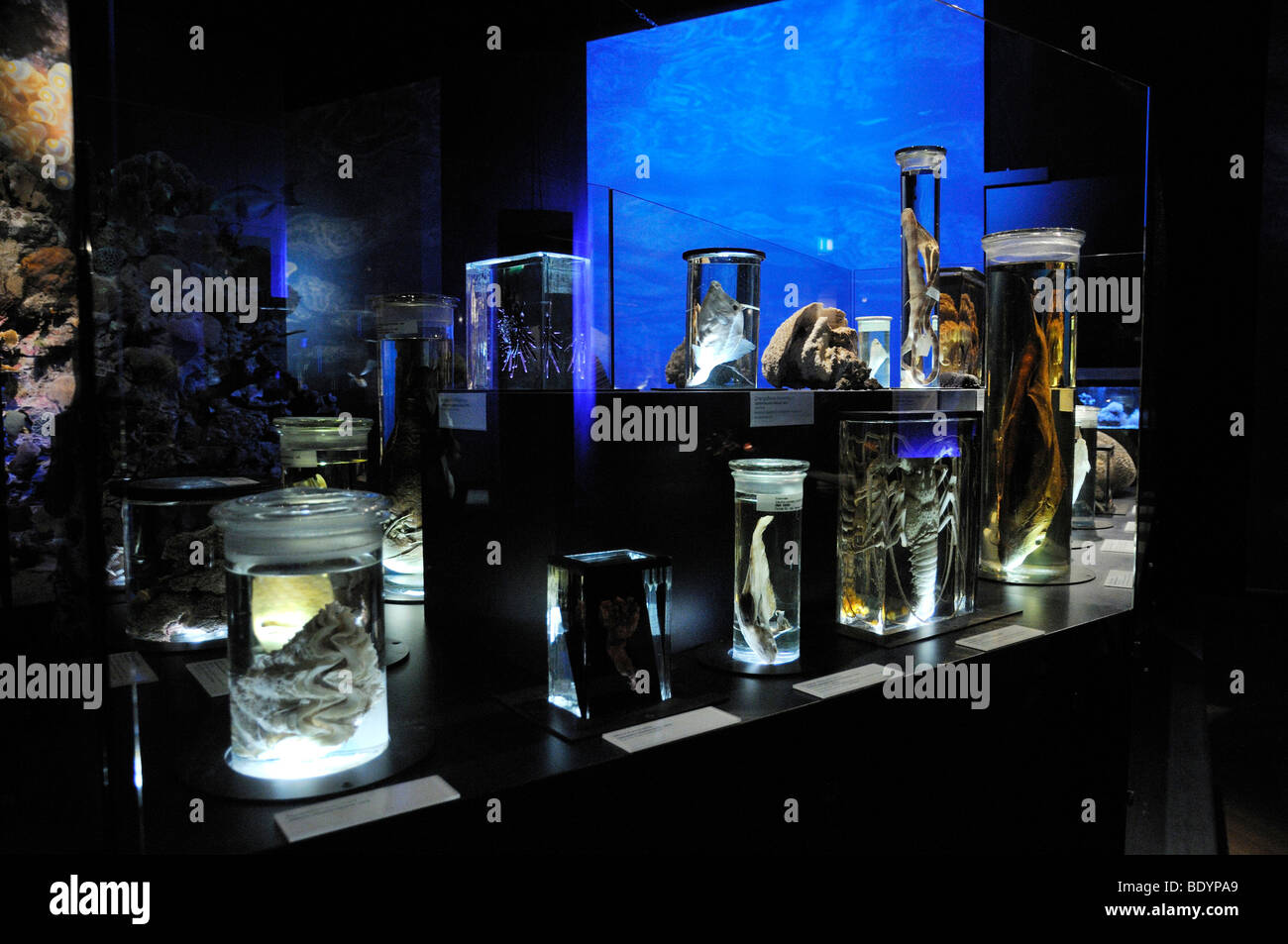 Exhibits, preserved in glass, Coral Reef exhibition, Museum of Man and Nature, Munich, Upper Bavaria, Bavaria, Germany - Stock Image
