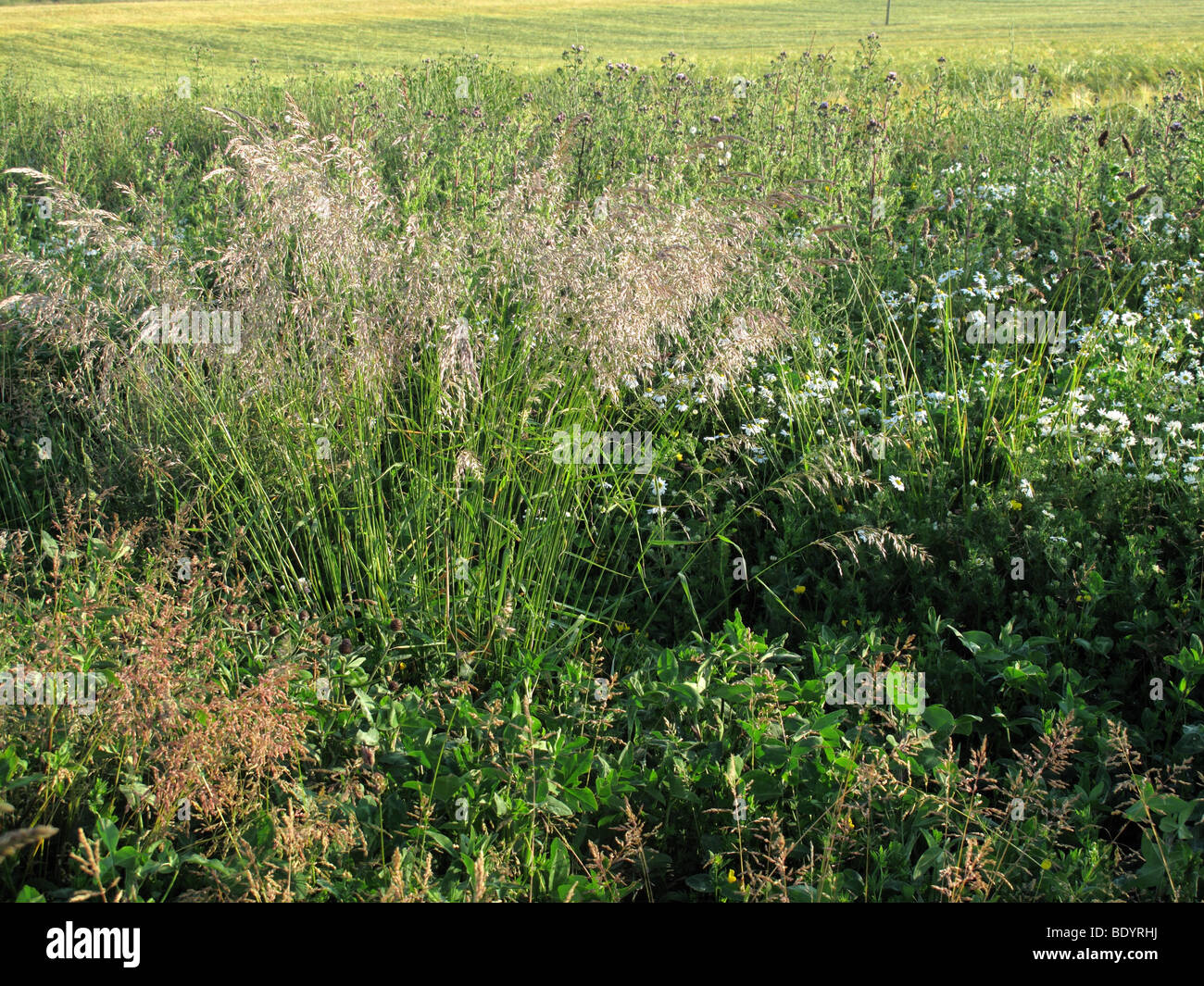 Field Margin sown with wildflowers and grasses - Stock Image