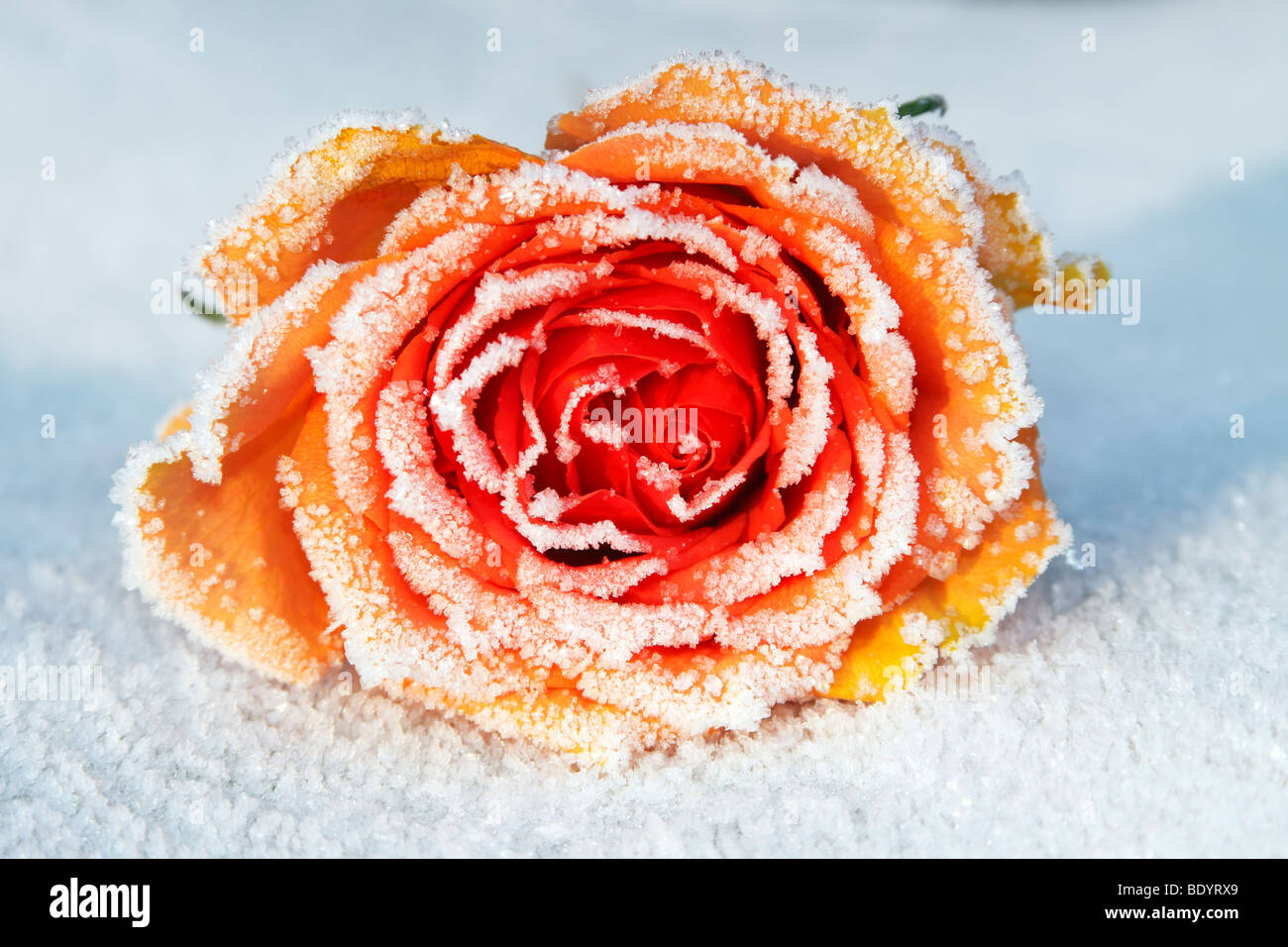 Rose covered with hoarfrost - Stock Image