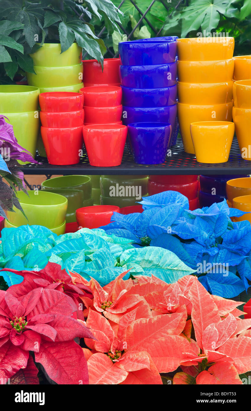 Colorful Pots And Colored Poinsettias Al S Garden Nursery Sherwood