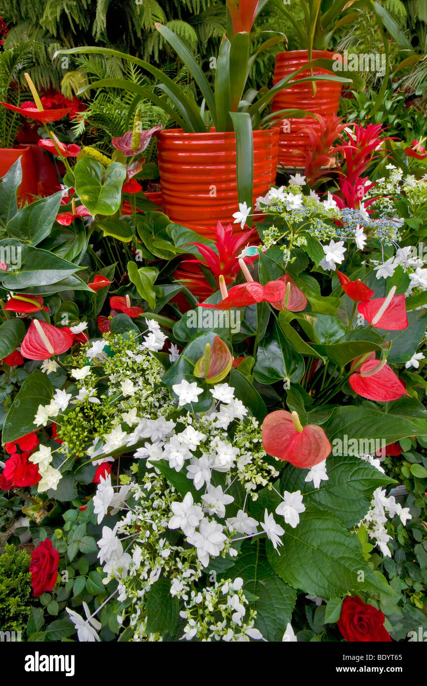 Christmas Display Of Fiesta Anthurium And White Shooting Stars Al S Stock Photo Alamy