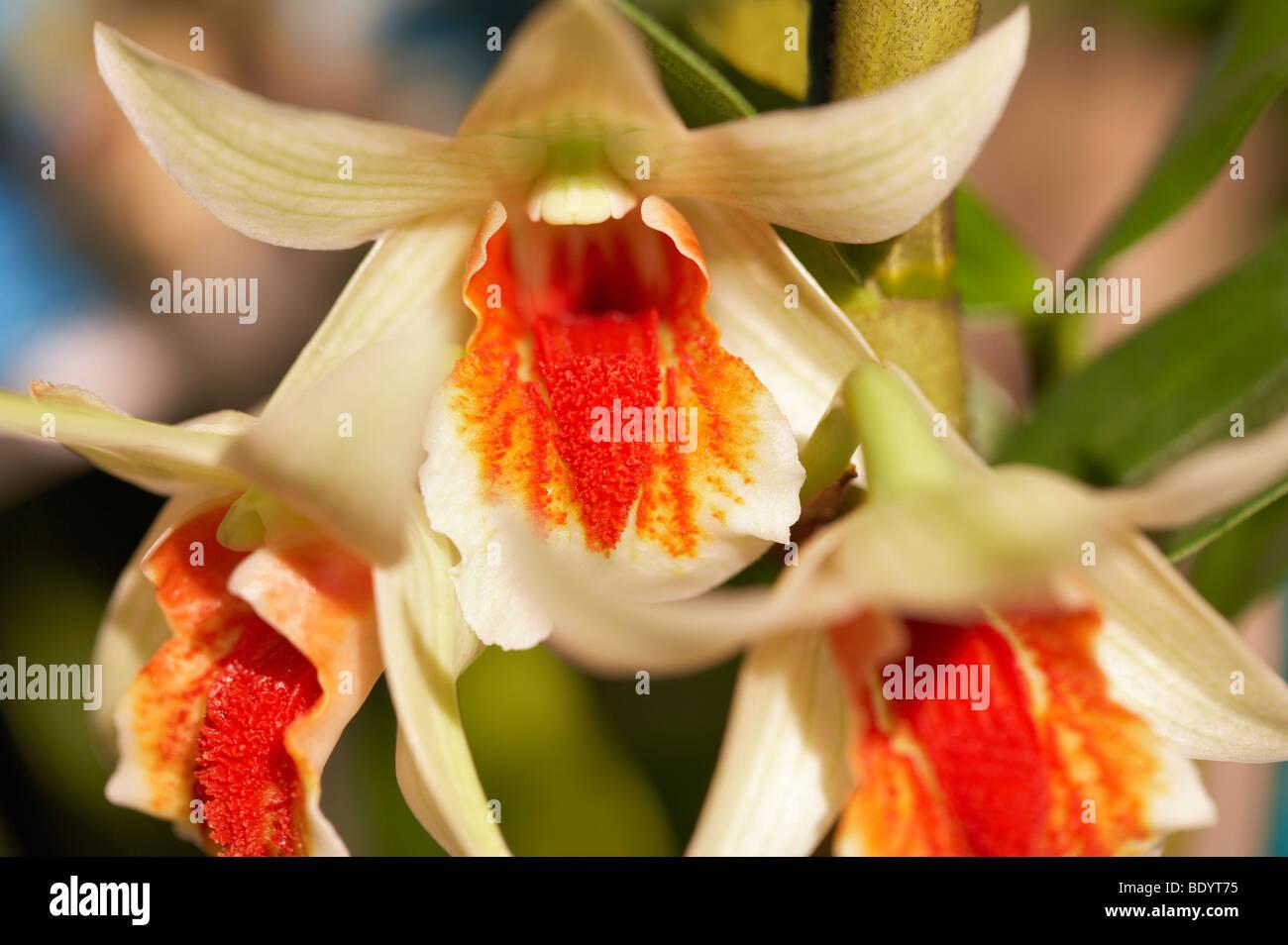 Orchid. Den. Green Lantern (Dawn Maree x cruentum) - Stock Image