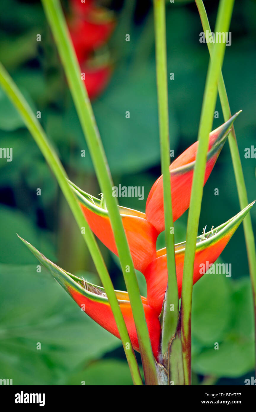 Giant Lobster Claw (Heliconia bihai). Garden of Eden Botanical Gardens. Maui. Hawaii - Stock Image