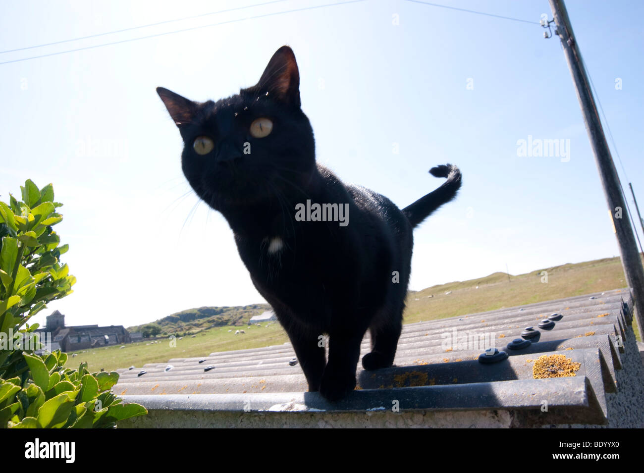 Isle of Iona Scotland - summer cat on a hot tin roof - Stock Image