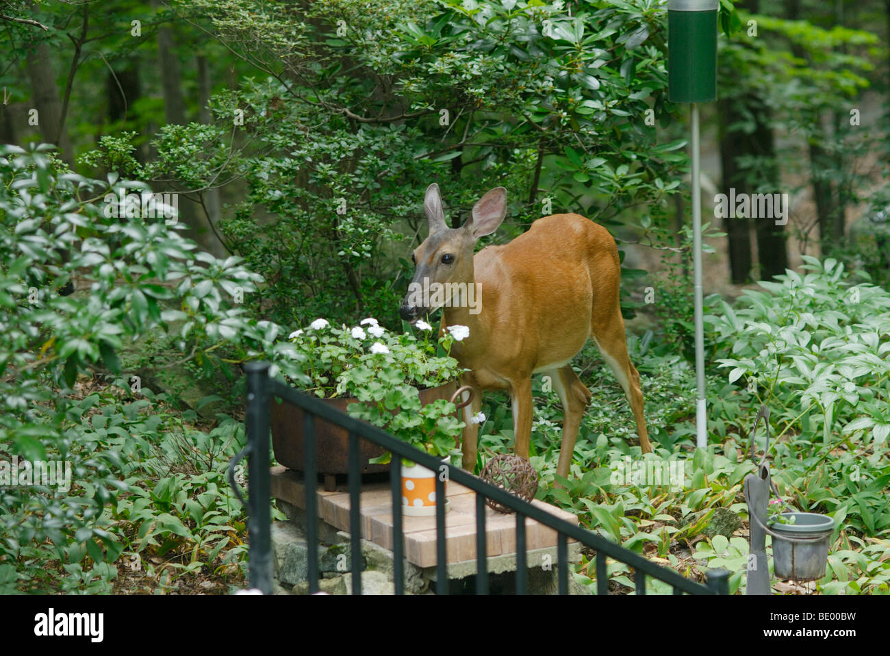 Whitetail deer, Odocoileus virginianus,  in garden eating flowers. - Stock Image