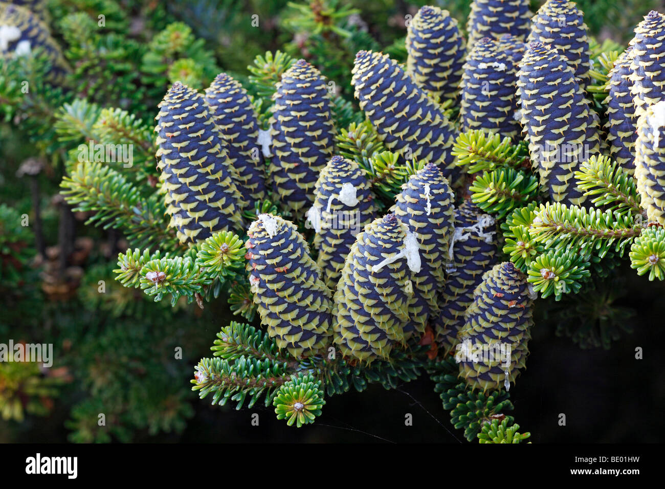 Korean Fir (Abies koreana), conifer branches with cones - Stock Image