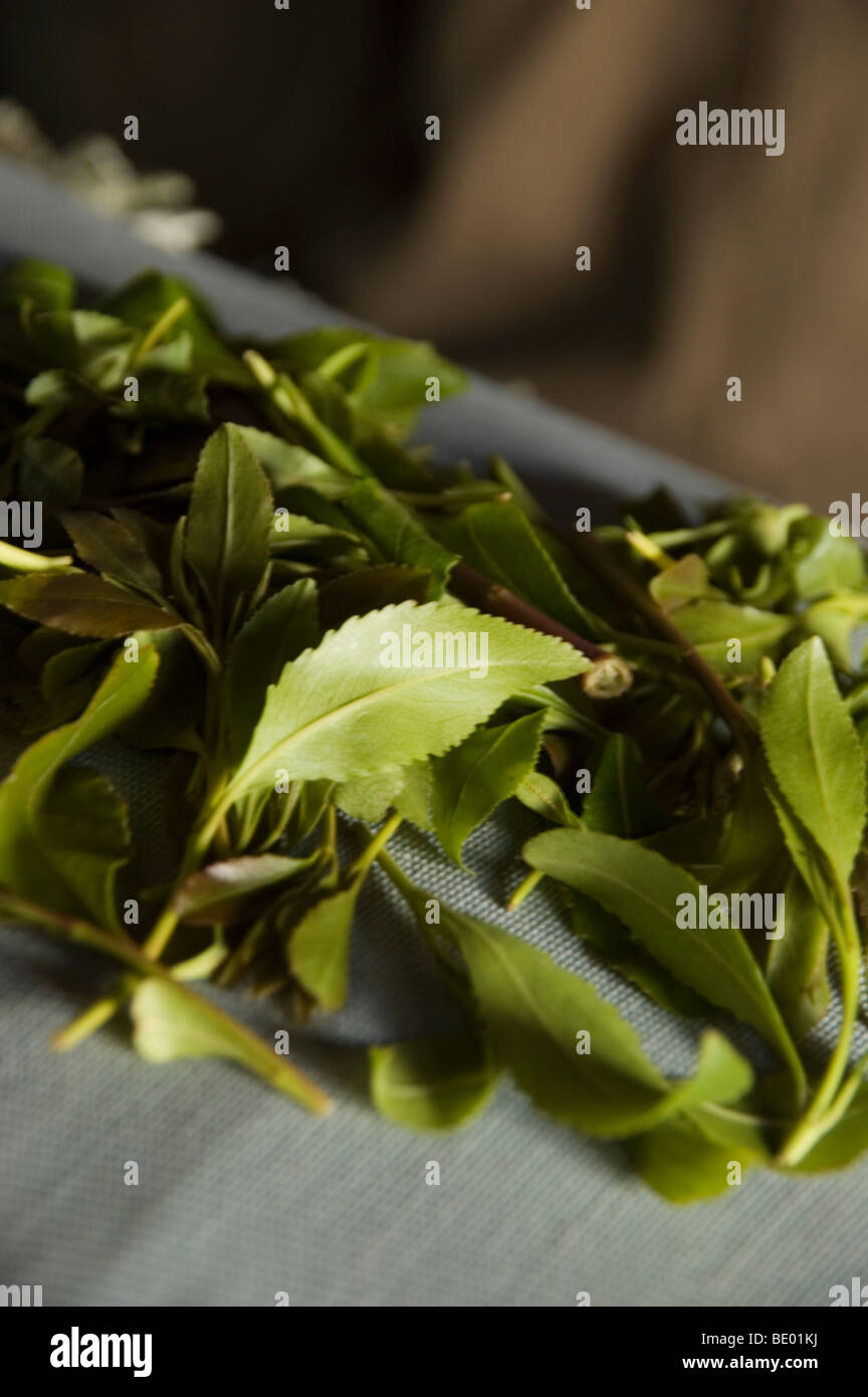 Khat leaves - a legal drug and stimulant grown locally and used ritually - in the khat market in Sana'a, Yemen. - Stock Image