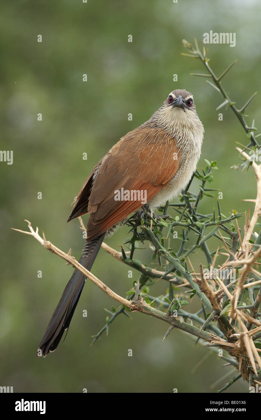 White-browed Coucal (Centropus superciliosus), Tanzania, Africa - Stock Image