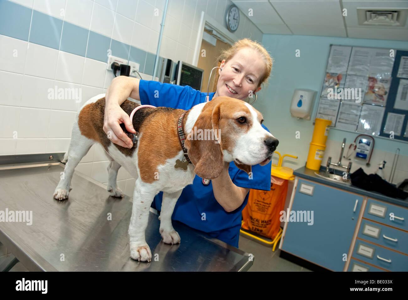 Veterinary nurse at a PDSA Animal Hospital examining a Beagle dog - Stock Image