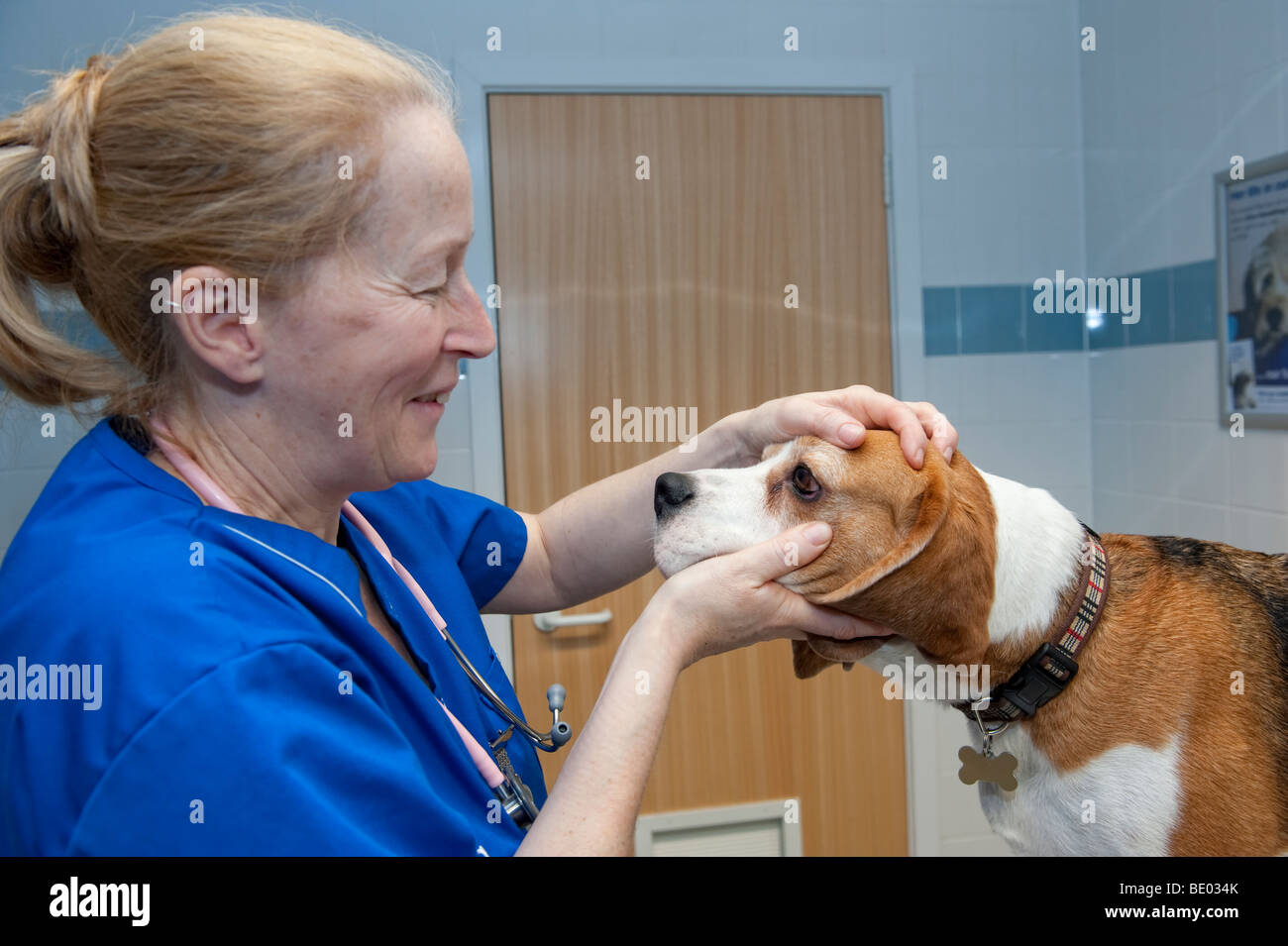 Veterinary nurse at a PDSA Animal Hospital examining a Beagle dog Stock Photo