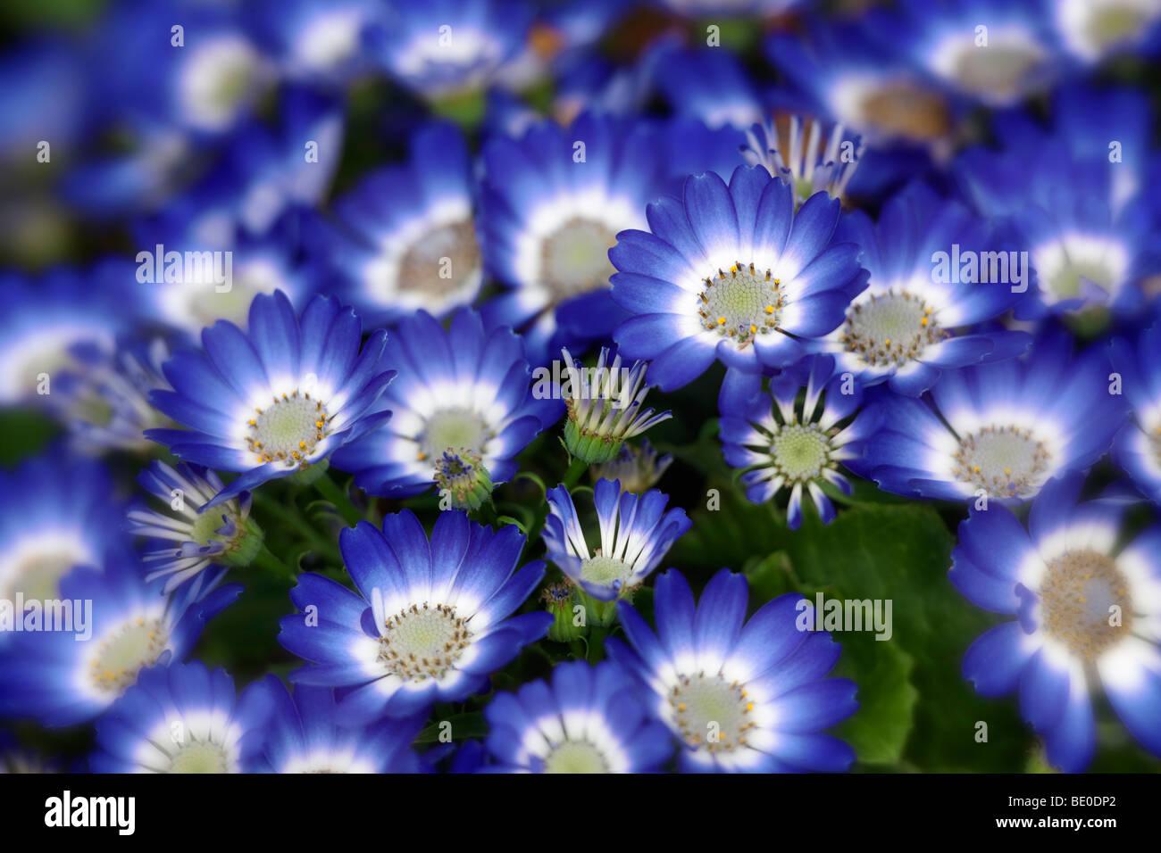 Cineraria blossoms. Oregon - Stock Image