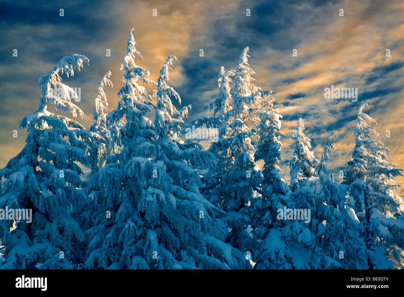 New snow on trees. Mt. Hood, Oregon - Stock Image