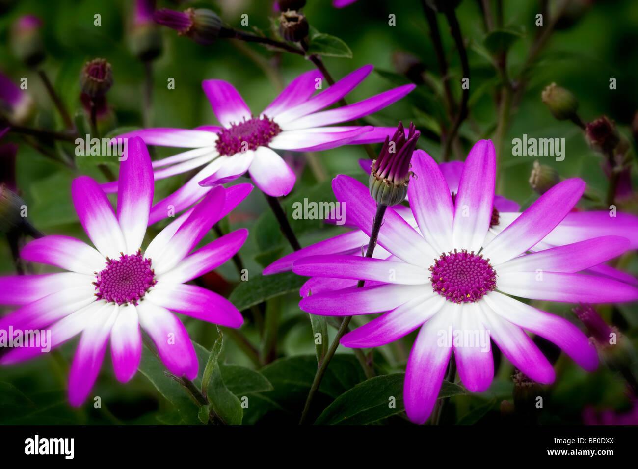Cineraria Senetti blossoms. Oregon - Stock Image