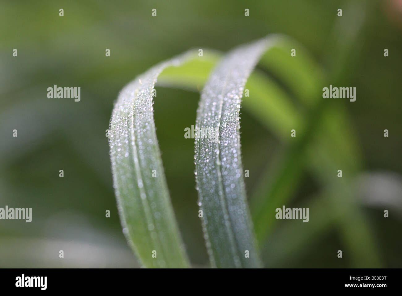 blades of grass in the morning covered with dewdrops - Stock Image