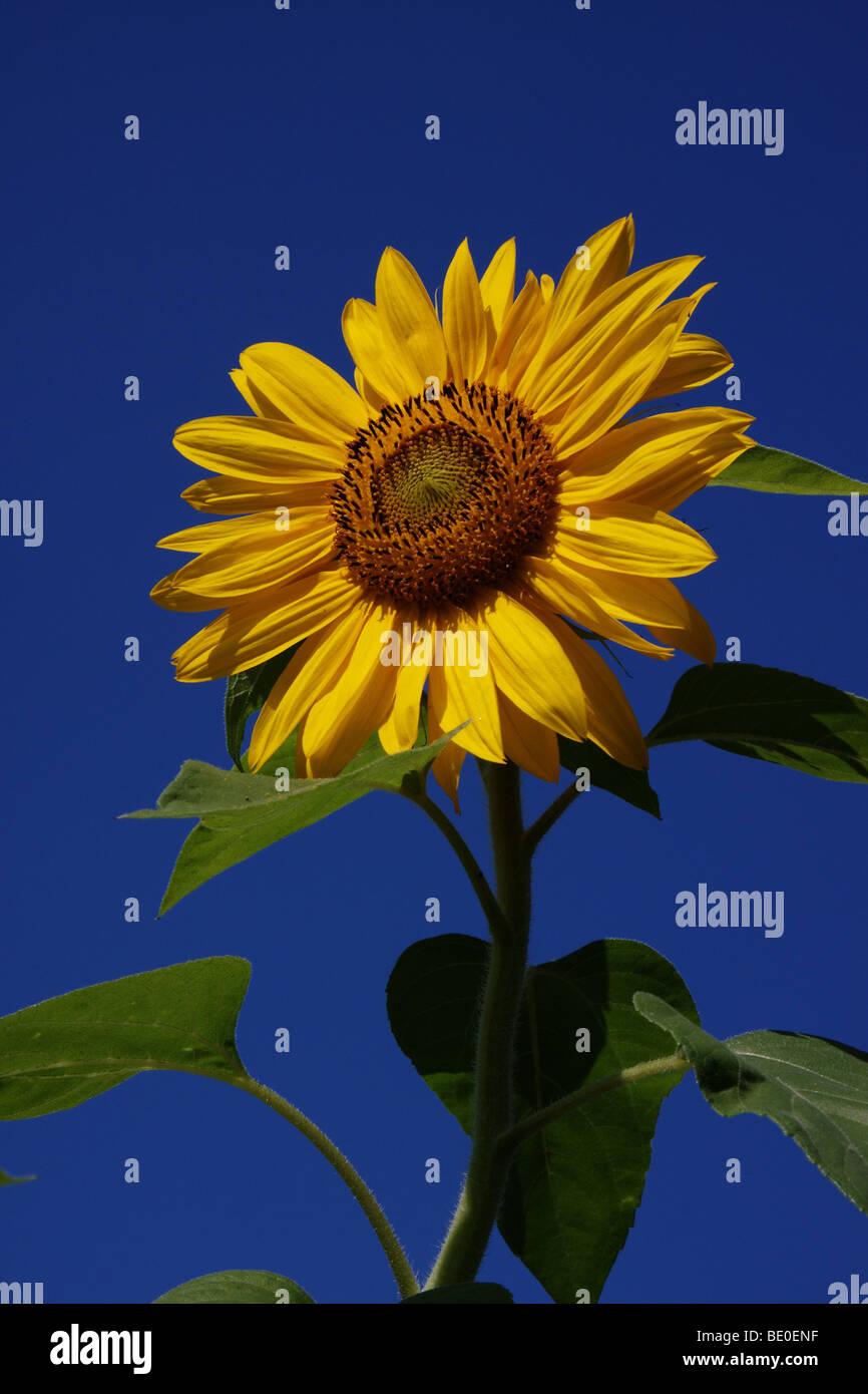 sun flower in the summer - Stock Image