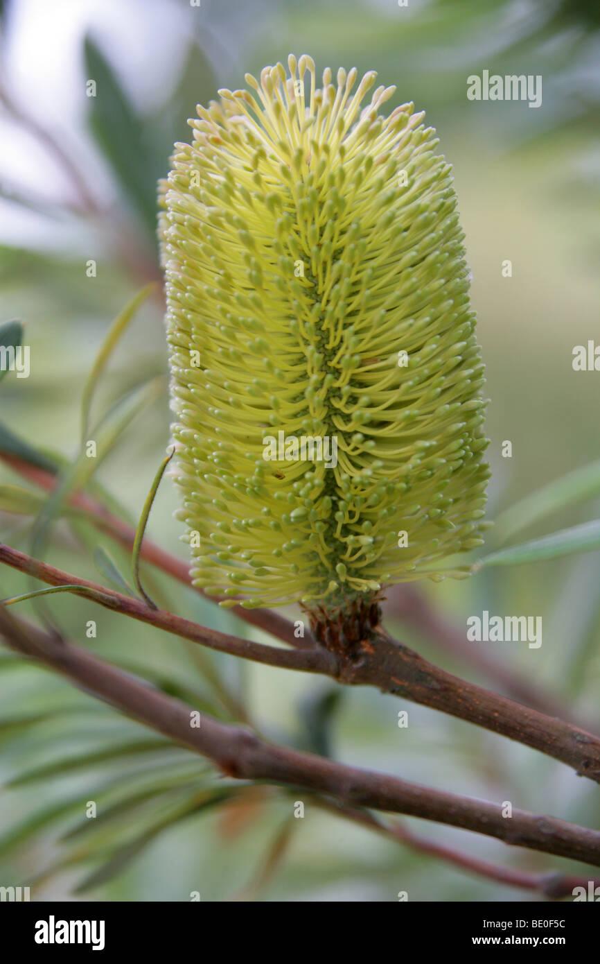 Coast Banksia or Coastal Banksia, Banksia integrifolia subsp. monticola, Proteaceae, Eastern Australia. - Stock Image