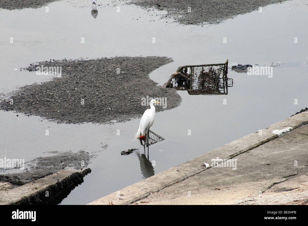 Snowy Egret in Ballona Creek with Shopping cart, Los Angeles, California, USA - Stock Image