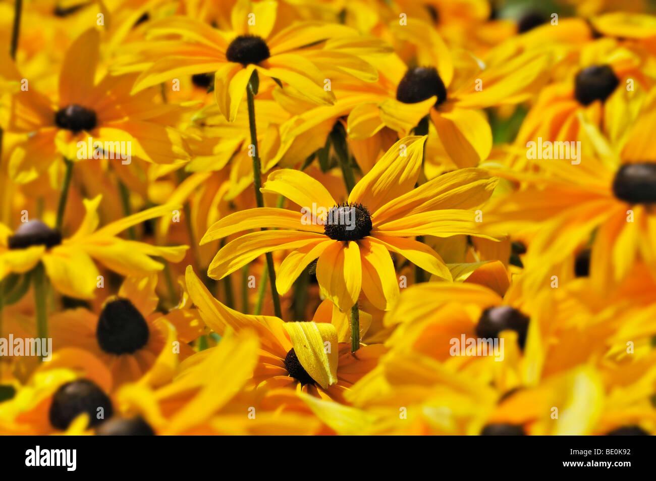 Coneflower (Rudbeckia) - Stock Image