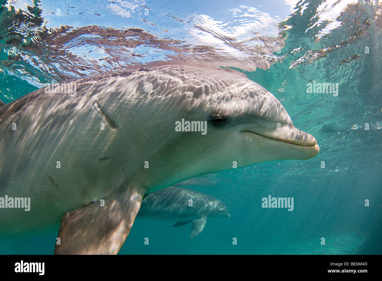 Atlantic Bottlenose Dolphin, Tursiops truncatus, Curacao, Netherlands Antilles, Caribbean. - Stock Image