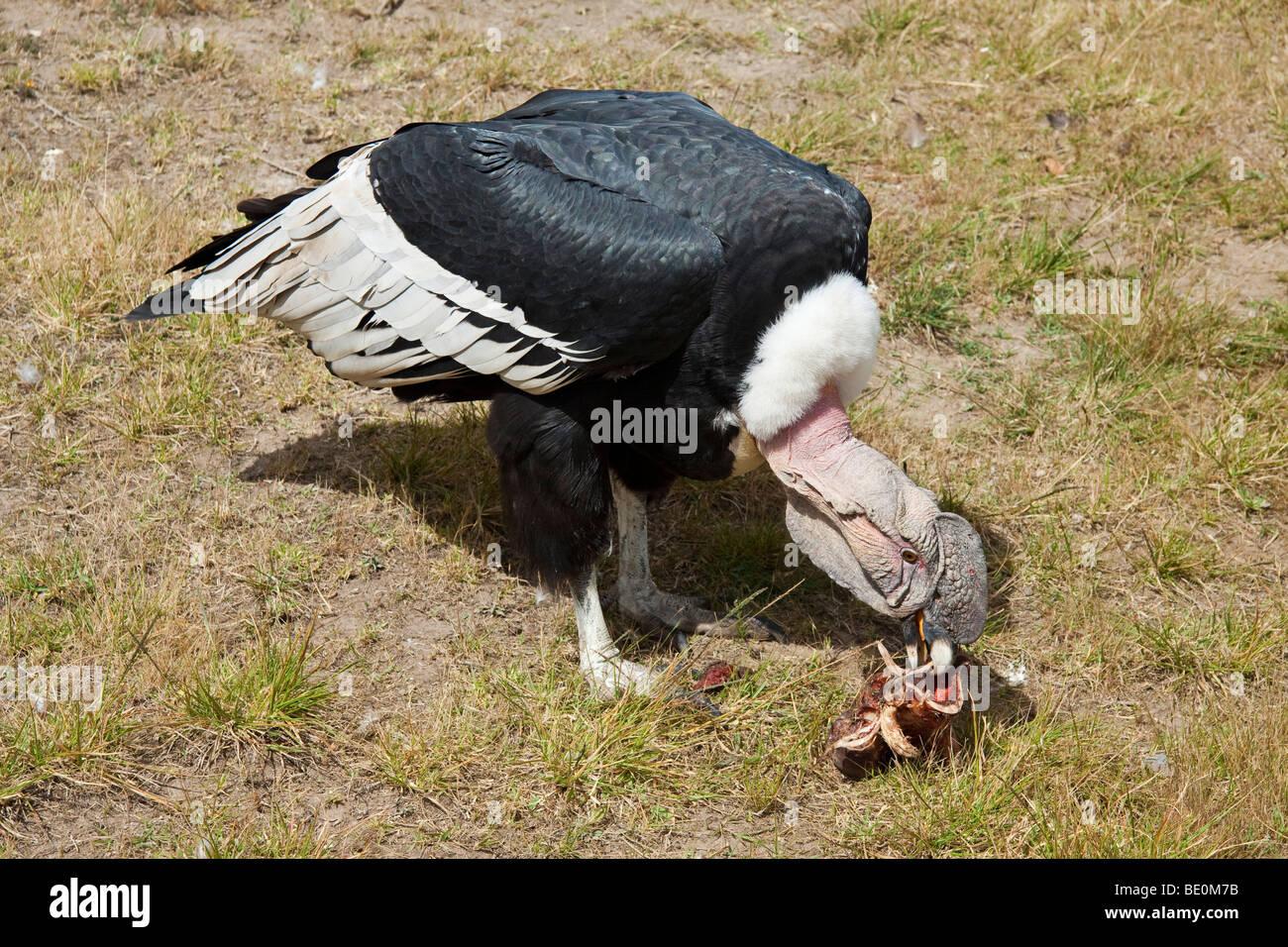 An Andean Condor, Vultur gryphus, Otavalo, Ecuador, South America. - Stock Image