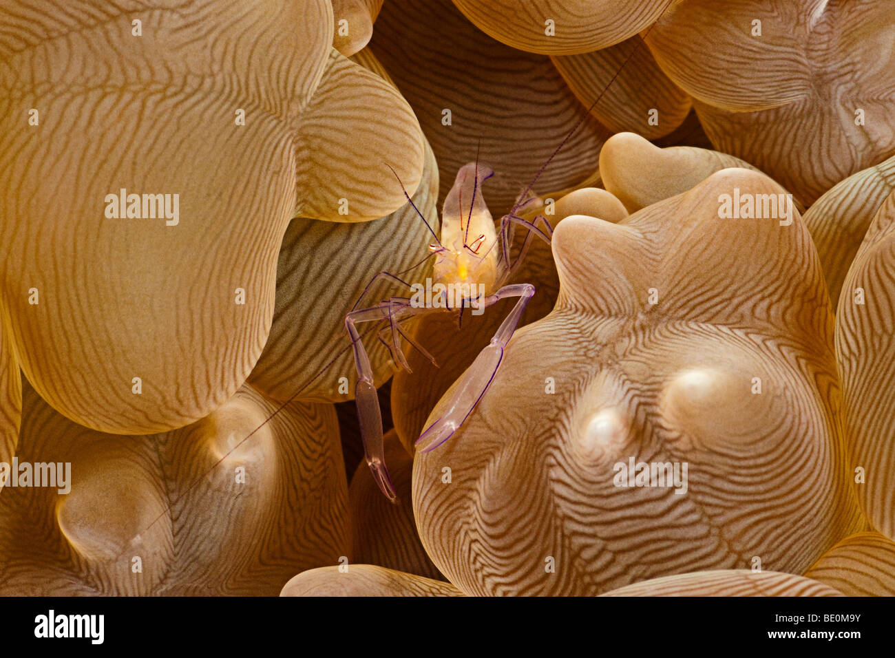 Bubble coral shrimp, Vir philippinensis, on bubble coral,  sp. Philippines. - Stock Image