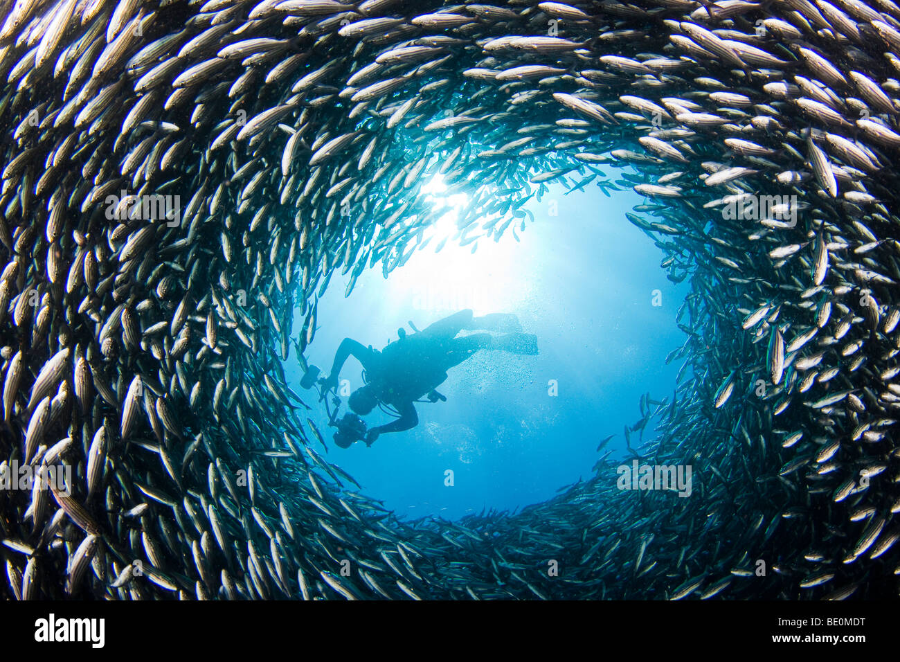 A diver above a chimney like opening in a school of black striped salema, Xenocys jessiae (endemic). Galapagos Islands, - Stock Image
