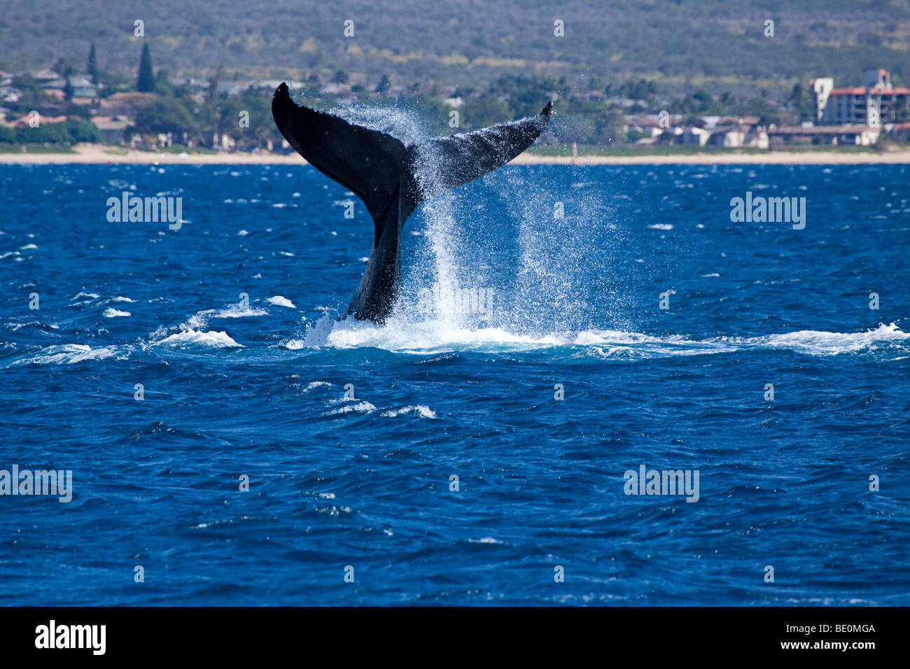 A humpback whale, Megaptera novaeangliae, lifts it's masive tail out of the Pacific off the northern end of Kihei, Stock Photo