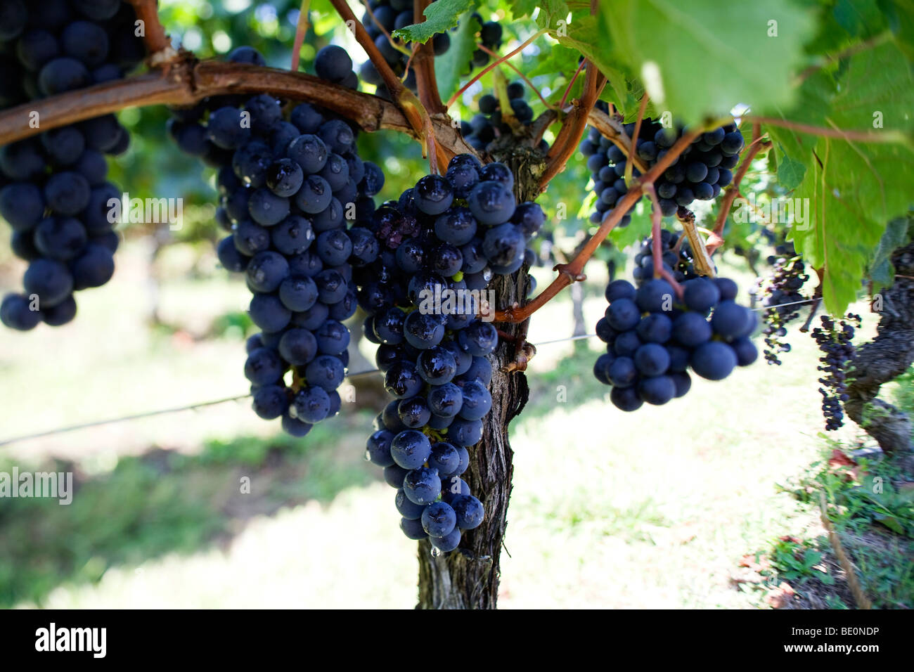 Grapes growing on vines on the outskirts of St Emilion in the wine producing region of Bordeaux in France - Stock Image