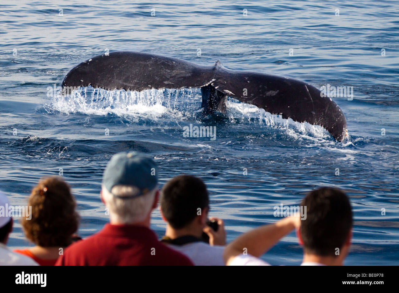 Passengers (MR) on a whale watching boat out of Lahaina, Maui, and the tail of a humpback whale, Megaptera novaeangliae, - Stock Image
